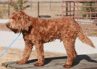 Mini Labradoodles Breeder & Puppies for Sale Paso Robles CA