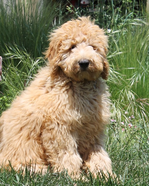 Cream colored labradoodle sitting in the grass