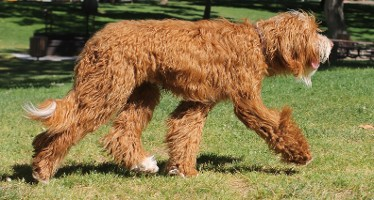 San Diego Labradoodle Puppies For Sale CA | Premiere