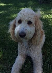 Labradoodle Puppies For Sale Santa Barbara California