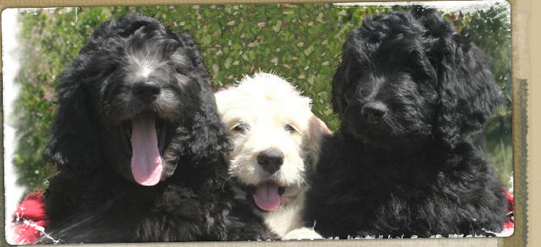 Mini Labradoodle Puppies for Sale San Diego CA | Premiere