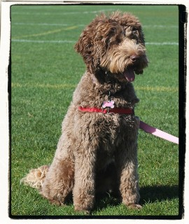 Candace - Australian Labradoodle Girl